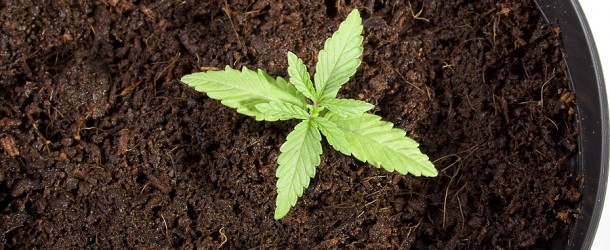 Soils for Growing Marijuana Seedlings