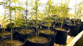 Pruning Marijuana: Slugger's Grow Room