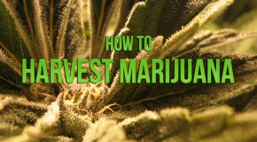 How To Harvest Marijuana