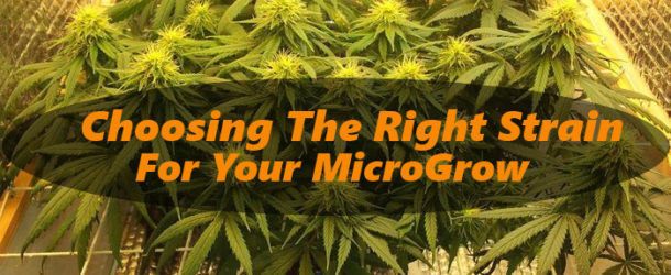 6 Considerations – Choosing a Strain For an Indoor Micro Grow