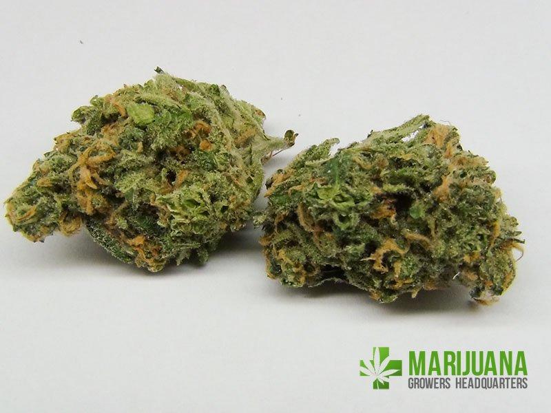 Marijuana Growers HQ Blue Dream - Marijuana Growers HQ
